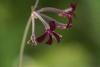 Pelargoniuma