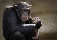Chimpanzee3703230_640